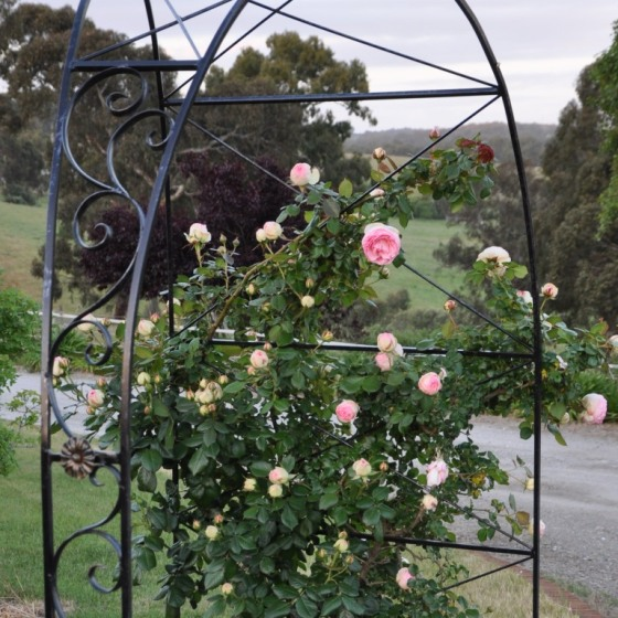 Training the rose canes to the arch