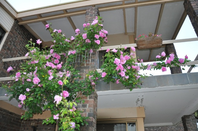 This climbing rose is too big for a garden arch.