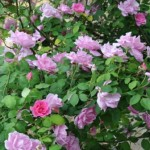 Climbing Rose - Mrs Fred Danks